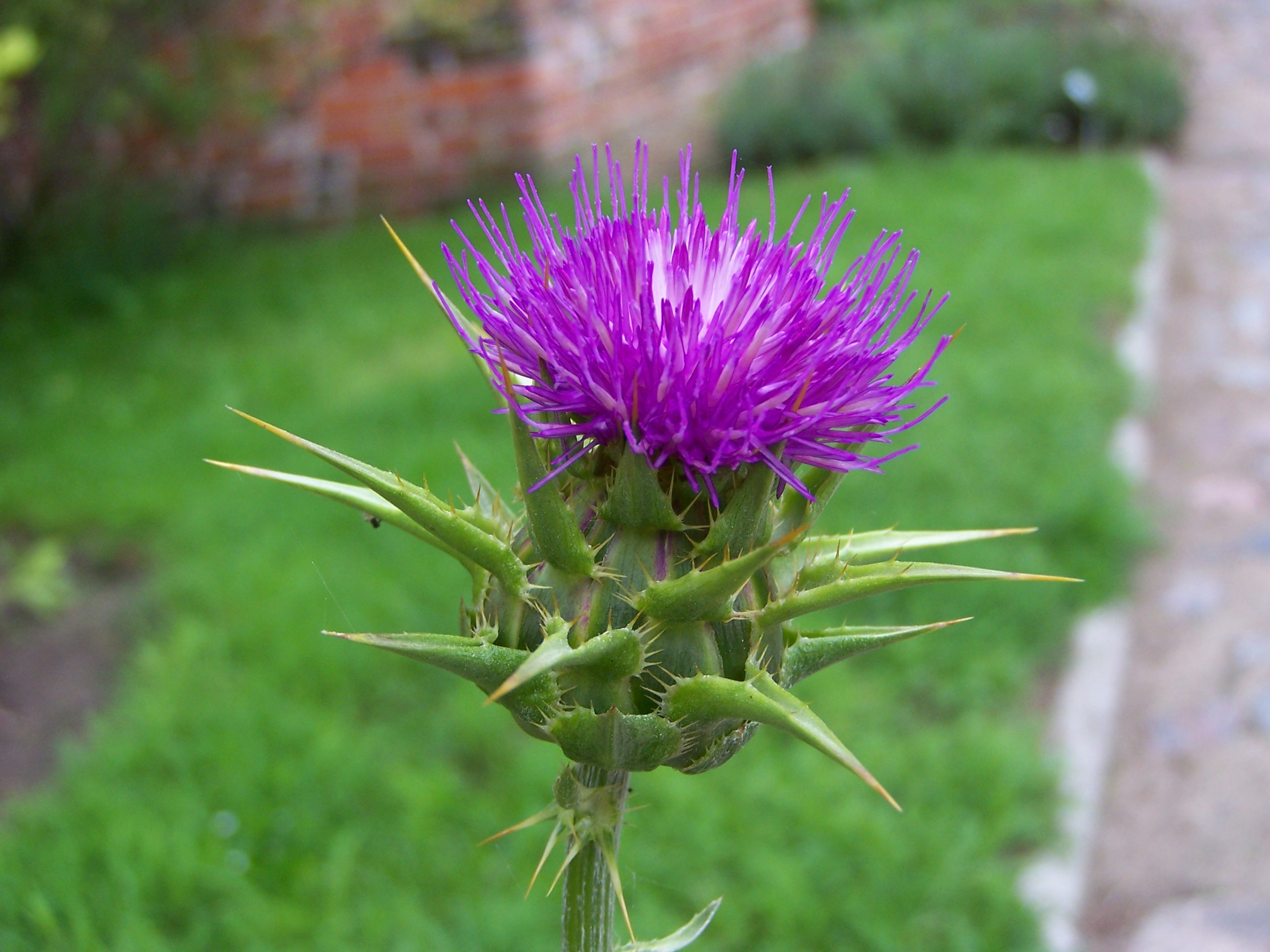 Milk Thistle Extract - Silymarin for Liver Support - The ...